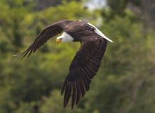 Attaque américaine d'Eagle chauve Photographie stock libre de droits