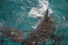 Attaque de requin Photos stock