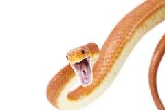 Attaque de serpent de rat du Texas Photos libres de droits