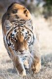 Attaque de tigre Image stock