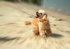 Attaque fâchée de chien d'écorcement sur le fond brouillé Photos stock