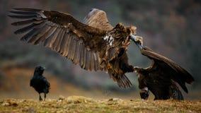 Attaques Cinereous de monachus d'Aegypius de vautour photos libres de droits