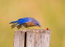 Attaques surprises d'oiseau bleu vers le bas pour obtenir une baie rouge Photo libre de droits