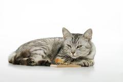 Attente de chat sur la souris. Images libres de droits
