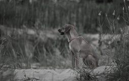 Attente de chien Photographie stock