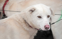 Attente de chiens de traîneau la course à commencer Images libres de droits