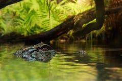 Attente de crocodile photographie stock libre de droits