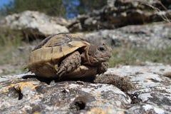 Attente de tortue de bébé Photos libres de droits