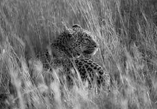 Attente pendant un instant du léopard, Serengeti Photographie stock