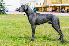 Attentes de great dane Images libres de droits
