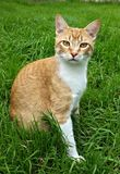 Attention all cats. Orange cat looking across the grass stock photo