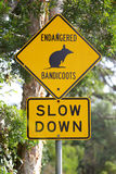 Attention Bandicoots Stock Images