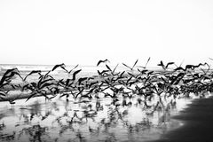 Attention!. Birds taking off on beach in florida Royalty Free Stock Photo