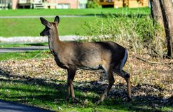 Attention. Deer life wild nature beauty crossing attention stock photos