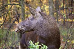 Attention. Sunny autumn day. Forest full of all kinds of sounds. Elk female listens to every sound. Here she looked back at the sound of fallen branches. A Stock Images