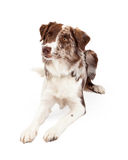 Attentive And Alert Border Collie Dog Laying Stock Photos