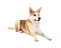 Attentive Australian Cattle and Shiba Inu Mix Dog Laying Stock Photography