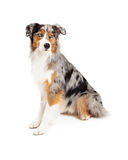 Attentive Australian Shepherd Dog Sitting Looking Off To Side Stock Photography