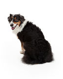 Attentive Australian Shepherd Dog Sitting Royalty Free Stock Image