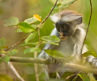 An attentive baby Zanzibar Red Colobus. A subadult Red Colobus shows the same expression of absorbed attention we can observe in many human babies. Jozani stock photo