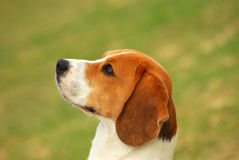 Attentive Beagle. Outdoor profile portrait of a beautiful Beagle hound dog with observant facial expression staring in front of green background Royalty Free Stock Photos