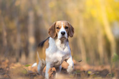 Attentive Beagle dog Royalty Free Stock Photography