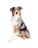 Attentive Beautiful Australian Shepherd Dog Sitting Stock Photography