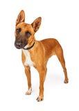 Attentive Belgian Shepherd Crossbreed Dog Stock Images