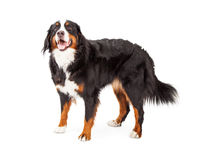 Attentive Bernese Mountain Dog Standing Royalty Free Stock Image
