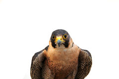 Attentive bird of prey Stock Photography