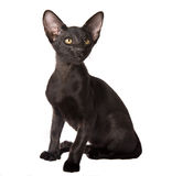 Attentive black kitten Royalty Free Stock Photo