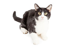 Attentive Black and White Cat Royalty Free Stock Photography