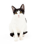 Attentive Black and White Cat Sitting Stock Photos