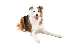 Attentive Border Collie Dog Laying Stock Photos