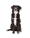 Attentive Border Collie Mix Breed Dog Sitting Stock Photography