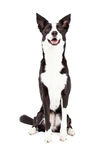 Attentive Border Collie Mix Breed Dog Sitting Royalty Free Stock Photo