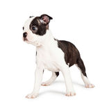 Attentive Boston Terrier Puppy Looking to Side Stock Photos