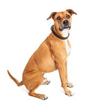 Attentive Boxer Crossbreed Dog Sitting Over White Stock Photo