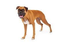 An Attentive Boxer Dog Standing Royalty Free Stock Image