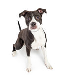 Attentive Boxer Mixed Breed Dog Over White Stock Photo