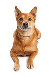 Attentive Carolina Dog Laying Over White Royalty Free Stock Photos