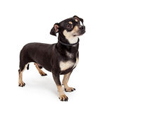 Attentive Chihuahua And Dachshund Mixed Breed Dog Royalty Free Stock Photo