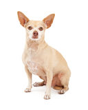 Attentive Chihuahua Dog Sitting Royalty Free Stock Photography