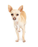 Attentive Chihuahua Dog Standing Looking Forward Stock Photos