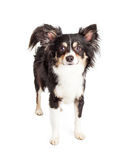 Attentive Chihuahua Mixed Breed Dog Standing Royalty Free Stock Photos