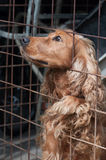 Attentive Cocker Spaniel in a cage, looking to the left Royalty Free Stock Image