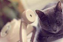 Attentive communication. Furry gray cat listens attentively to the sound from the retro phone tube royalty free stock images