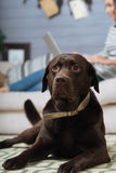 Attentive cute Labrador lying on the floor Royalty Free Stock Images