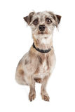 Attentive Cute Terier Crossbreed Dog Sitting Royalty Free Stock Photo