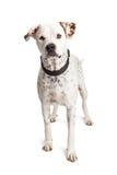 Attentive Dalmatian Crossbreed Dog Standing Stock Image